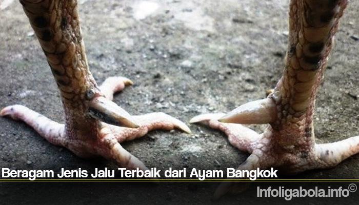 Beragam Jenis Jalu Terbaik dari Ayam Bangkok