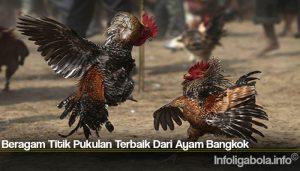 Beragam Titik Pukulan Terbaik Dari Ayam Bangkok