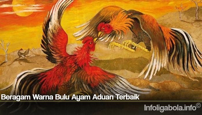 Beragam Warna Bulu Ayam Aduan Terbaik