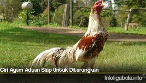 Ciri Ayam Aduan Siap Untuk Ditarungkan